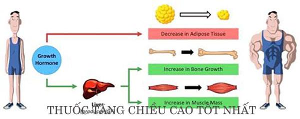 Cơ chế tác động của GH đến quá trình phát triển chiều cao